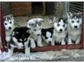 Male and female Siberian Husky pups KC registered worming up to date They have been vet checked a