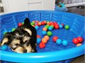 Yorkies puppies availableGender MaleFemaleShots Up to dateThe babies are very sociable with
