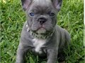 Cute Frenches for sale contact 909 340-3629