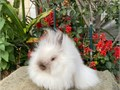 Beautiful Purebred Double Mane Dwarf Jr Sable Point Female Lionhead rabbitCompact body thick co