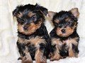 Super adorable Yorkie Puppies So gentle and affectionate I have 2 left  This is a great breed for