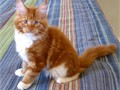 Maine Coon Male Female 50000 For more info and pic of the babies kindly call or text 385-988-02