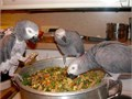 czxd african grey parrots All the parrots will be sold with a hatch certificate and ID steel rings
