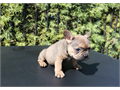 I have two male and two female frenchies akc register These puppies are up to date on shots The p