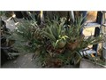 gorgeous six feet wide Staghorn Fern Cash Only please Free local delivery after payment in full Larg