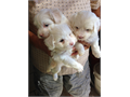 Maltipoo Avalible for New Home These are Family Raiterd whit lots love and well socialized Fem