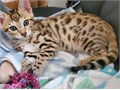 Tica Reg Bengal kittens of 10weeks old Boys and girls are Very healthy and socialized Inquire with