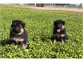 German Shepherd puppiesReady for their new forever homes Now FOR MORE INFORMA