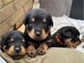 Beautiful Rottweiler Pups