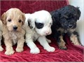 Beautiful cavapoo puppies with nice temperament looking for loving homes available text us 419 98