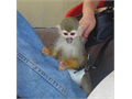 Two Cute squirrel monkeys out for re-homing vet checked and have taken all vaccins 100000 781-667