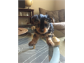 3 Yorkshire Terrier puppies Female They are ready to go home UP TO DATE ON SHOTS