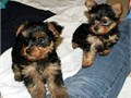Male and Female gorgeous Yorkie Puppy are so small and cute she is ready for a perfect triple coat
