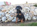Doberman Pinscher Puppies For Adoption They are obedient and well socialized and love to play Ema