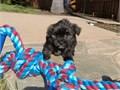 Puppys name LeoBreed MalteseYorkieAge 9 weeks oldRegistry NAEstimated adult weight 6