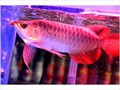 We have the following Arowana fishes available for sale now 24k Golden arowana Super Red Red As