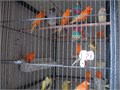 Canary for sale red and timbrados 5000 or more you can select from the cage 6000 213-291-4038