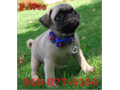 Pug Puppies for sale  beautiful 8 weeks old and will come up to date on shots and deworming each p