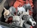 Akc registered French bulldogs DOB-073121  1st shots  dewormed vet checked