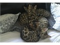 Bengal Males TICA kittens Raised in our home Championship lines Parents on premises Shoud be l