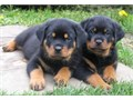 Real full blooded Rottweiler puppies with their tail docked Yes they are real