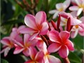 15 gallon 6 tall Plumeria a real beauty choice variety thick trunk dark pink flowers at outer edge
