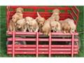 Sweet Golden Retriever puppies for sale Please visit our website at httpsgolden-retrievercompan
