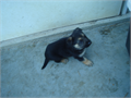 AKC registered German Shepherd puppies  dam and sire on premises Shots  deworming UTD 65000 47