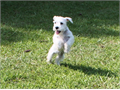 HELLO My name is Frost I am a beautiful WHITE AKC registered Mini-Schnauzer puppy Homed raised w
