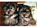 Ready For new Homes males  Female Yorkie Puppies They are Registered and Vaccinated I have a Male