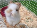 We have a purebred broken orange netherland dwarf ready to reserve He will grow to be around 25-3