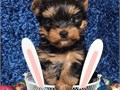 Adorable outstanding Yorkie puppies ready for their new and forever lovely homeGood with kids and o