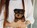 Our beautiful male and female Yorkie puppies are now ready to meet their new loving family They are
