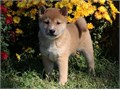 Shiiba Inu Pups BoyGirls  10weeks old  vaccinated and come papers interested Textcall 510 296