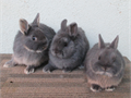 Netherland Dwarf bunnies MF many colors also Holland lops purebred for show pets or breeders 3000