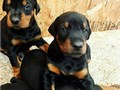 READY NOW Text or Call us at 310 299-4076Our beautiful Red Doberman girl gave birth for 6 wond