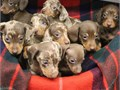 We have Miniature Dachshund Puppies For Sale for more details visit our website wwwdachshundstarsl