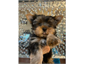 Yorkie puppies Males and Females 11 weeks old both parents are on site 1st set