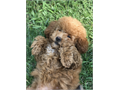Selling 3 12 month old female toy poodle Super friendly and outgoing Cannot keep do to a family s
