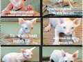 Barebottomsphynx bambino kittens sphynx kittens very healthy and strong and sweet