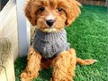 Hello just wanted to find out  interested in taking one  of these my beautiful cavadoodle puppies t