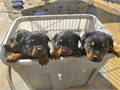 We have 100 german rottweiler puppies with excellent champion bloodlines they