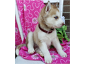 Siberian Husky now ready  if you are interested please call or text 209 260 8856