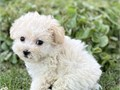 Teddy bear face female cream color tiny-toy Poodle  This little baby girl is no