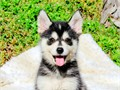 Name Luke First Generation Pomsky F1Youtube Link httpsyoutubeD7xjPTOCHEk --   WATCH LU