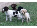 We have an excellent line of Hybrid Retriever puppies We have some puppies avai