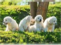 Golden retriever puppies for new home  potty trained with paperwork up to date  vaccinated 12 week