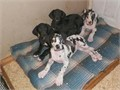 Great Dane Puppies 10 weeks old European Bloodlines We have a Harlequin and a  Black Male and a