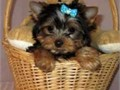 Cute And Lovely Teacup Yorkie Puppies For adoption they are home raised puppies with good temperame