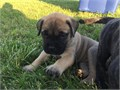 Healthy Home Trained Bullmastiff pups for sale These dogs are family raised and paper trained Avai